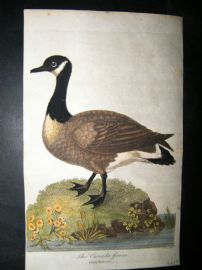 After George Edwards C1800 Hand Col Bird Print. Canada Goose